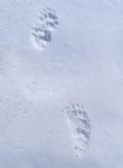 spuren waschbär im schnee