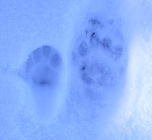 Trittsiegel Und Andere Tierspuren Wolf Fuchs Bar Luchs Marder