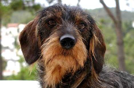 Cani Da Caccia Addestramento Utilizzo