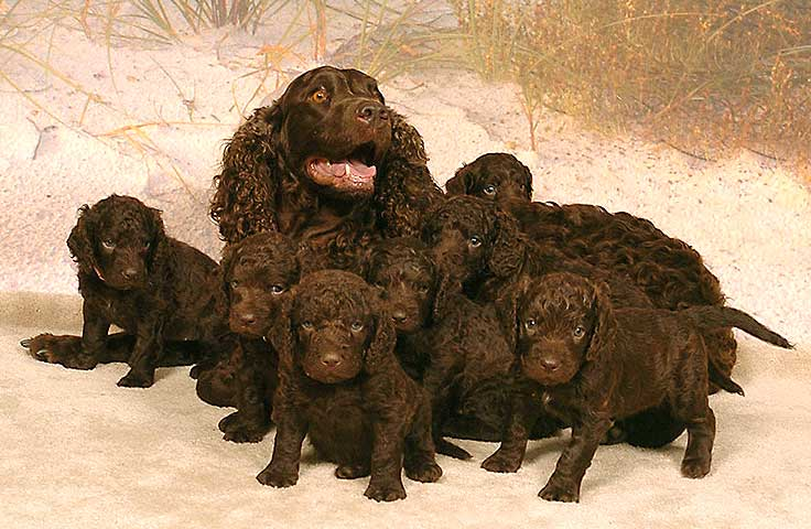 Breeders Interview American Water Spaniel Kennels Little Brownies