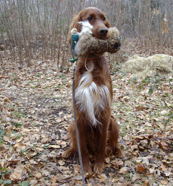 L 39 educazione precoce del cane da ferma for Cane setter